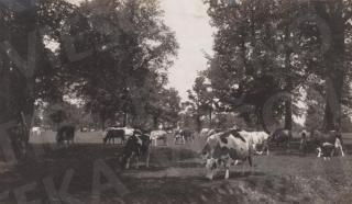 Besiganančios Frykams priklausiusios karvės Žaliakalnio ąžuolyne. XX a. 3 deš.