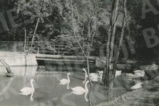 Girstupio upelio tvenkinys Zoologijos sode. 1962 m.