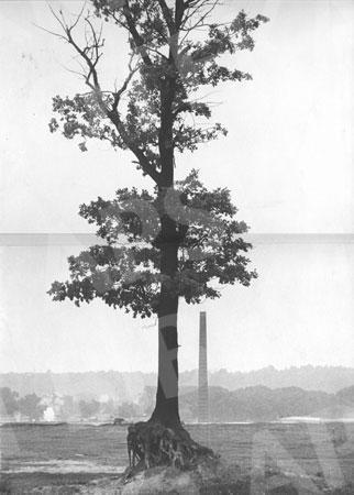 Aukštųjų Šančių ąžuolynas. 1967 m.