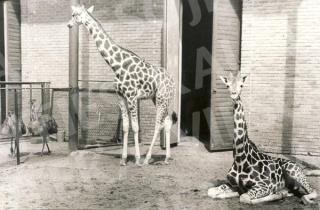 Žirafos Kauno zoologijos sode. 1980 m.