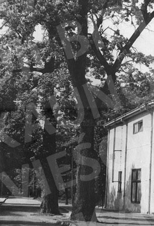 Ąžuolyno parkas prie sporto halės. 1967 m.